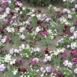 Stiefmütterchen Floristik Traum